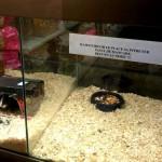 De-a şoarecele şi Cireşica
